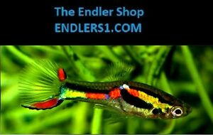 "Endlers Livebearer ""guppy"" fish, Pure Strain (N Class): THE ENDLER SHOP"