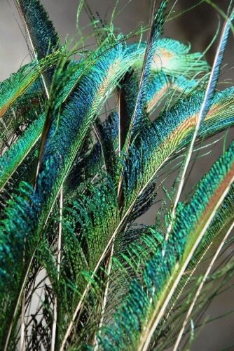 "25 Pcs PEACOCK SWORDS Natural Feathers 25/""-30/"" Craft//Pad//Decor//Costume//Halloween"