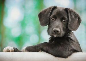 A1-Black-Labrador-Puppy-Poster-Print-60-x-90cm-180gsm-Wall-Art-Decor-14856