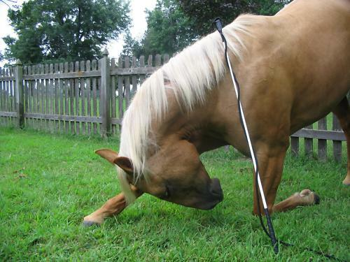 THOMEY HORSE TRAINING SET~ HALTER LEAD /& HANDY STICK FITS PARELLI CA REIS P