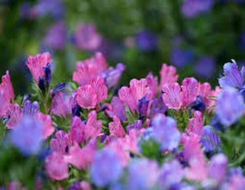 Echium 50 Seeds Viper/'s Bugloss Rose BOGO 50/% off SALE