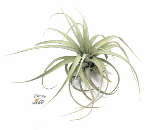 "xerographica Bare Root 8-10/"" FlowerPotNursery Tillandsia Xerographica Medium T"
