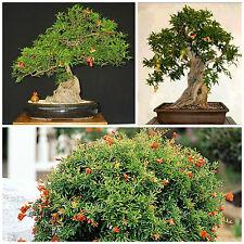 10 semi di punica granatum nana, Melograno nano, semi bonsai