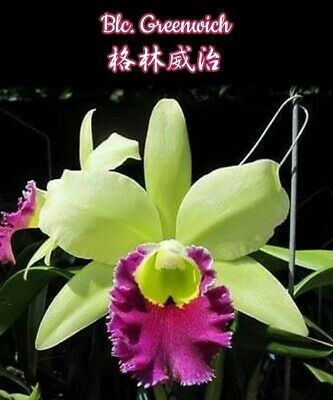 orchidee Blc Greenwich   a102 orchid