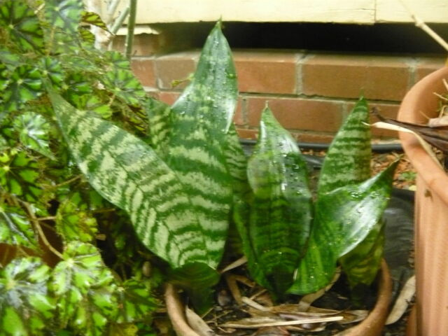 """1Plant ~ Sanseviera trifasciata """"GREEN mother in laws tongue"""""""