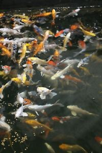 Details about Mixed Koi 4-6
