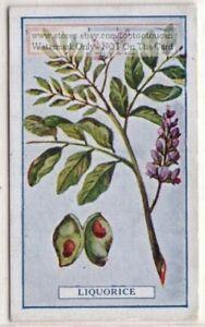 Licorice-Spice-Flavor-Herb-Medicinal-Gastritis-Eczema-100-Y-O-Trade-Ad-Card-G
