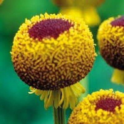 50+ Helenium Autumn Lollipop Perennial Flower Seeds