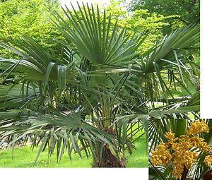 15 samen chinesische hanfpalme trachycarpus fortunei winterhart und robust ebay. Black Bedroom Furniture Sets. Home Design Ideas