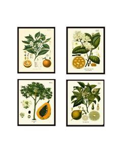 Unframed Botanical Print Set of 4 Antique Orange Lemon Citrus Tropical Wall Art