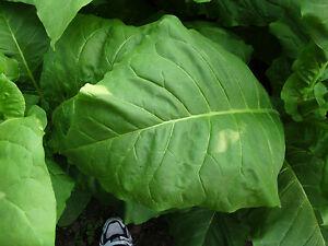 4-Sorten-4x1000-frische-Tabaksamen-Ernte-2018-Virginia-Burley-Tobacco-Seeds
