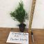 EMERALD-GREEN-Arborvitae-3-034-pot-Thuja-occidentalis thumbnail 2