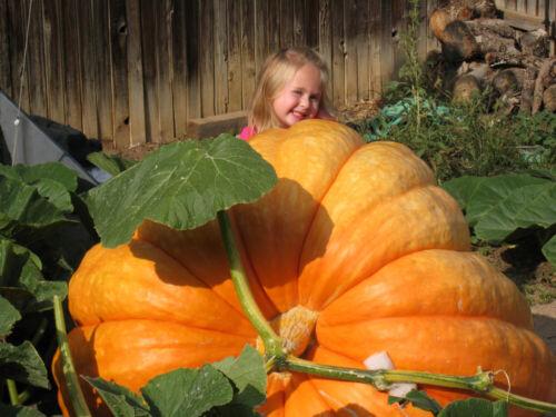 20pcs Atlantic Super Giant Pumpkin Seeds Tasty Organic Vegetables In Home Garden