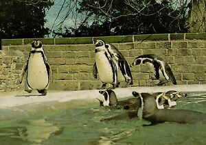 D3869aps-UK-Harewood-Bird-Garden-Penguins-postcard