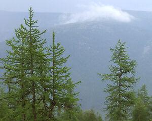 12-Semillas-Alerce-de-Siberia-Larix-Sibirica-Jardin-Arbol-Tree-Garden