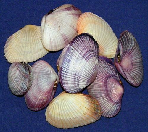 Asaphis-violaceus-Tellin-Clam-Shells-Pair-1-034-1-3-4-034-Seashells-5-10-20-Pcs