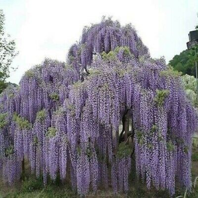 Tasmanian Blue Moon Poppy 200 Seeds Large White Purple Flowers