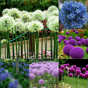 Am-100Pcs-Giant-Onion-Seeds-Allium-Giganteum-Flower-Plant-Home-Garden-Bonsai-De