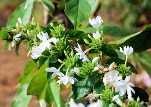 Limonia acidissima seeds Wood Apple Rare exotic Tropical Tree Yellow blossoms