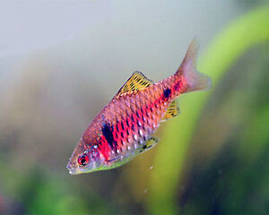 Live tropical aquarium fish for sale odessa barbs for Live fish for sale
