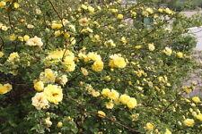 100 Colorful Climbing Roses Seeds Rosebush Rosa multiflora Garden Flowers