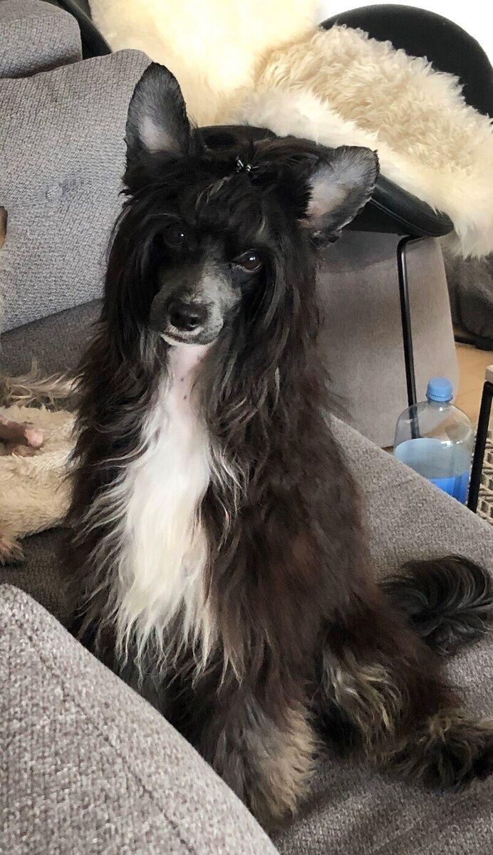 Chinese crested, hund, 10 mdr., Skøn, smuk og kærlig dren