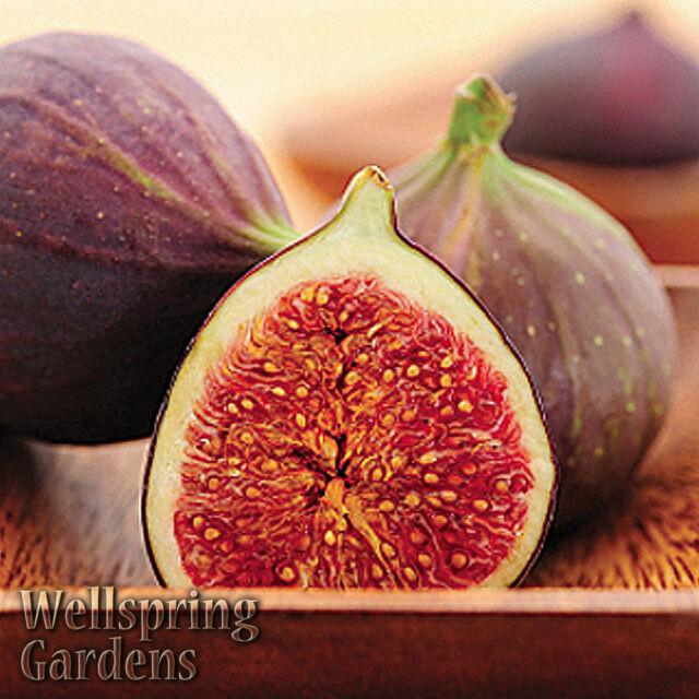 Hardy Fig Fruit Tree 'magnolia' Live Plant Aka Madonna