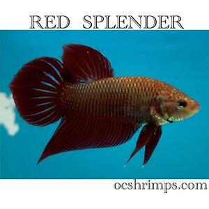 Wild Red Splender ( Male )