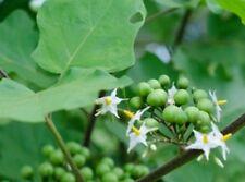 40 Samen Pokastrauch (Solanum torvum), Türkenbeere, gute Veredelungsunterlage