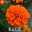 50 PCS Seeds Orange Maidenhair Flowers Plants Herb Garden Marigold Chrysanthemum