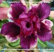 "ADENIUM OBESUM DESERT ROSE DOUBLE FLOWERS "" DOUBLE BOYSENBERRY "" 20 seeds New"