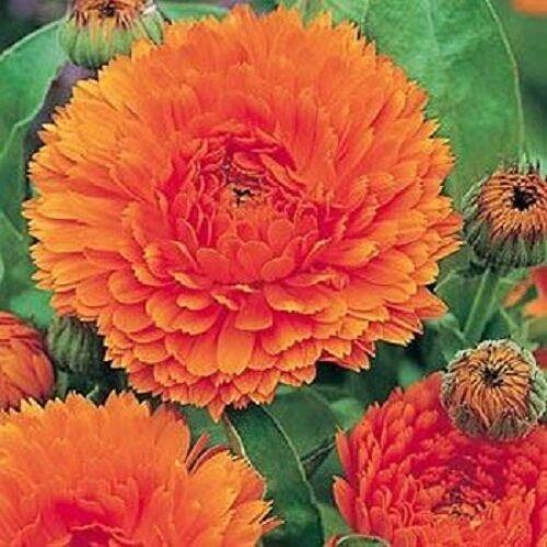 Calendula Seeds Orange King Flower Seeds 50 Seeds
