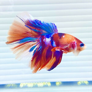 US SELLER (A-Grade) Male Galaxy Halfmoon Betta imported from Thailand
