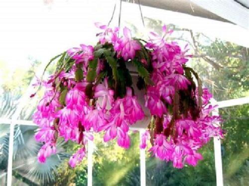 Zygocactus Pink Christmas Cactus Plant Home Garden Patio Ornamental Decor in Pot