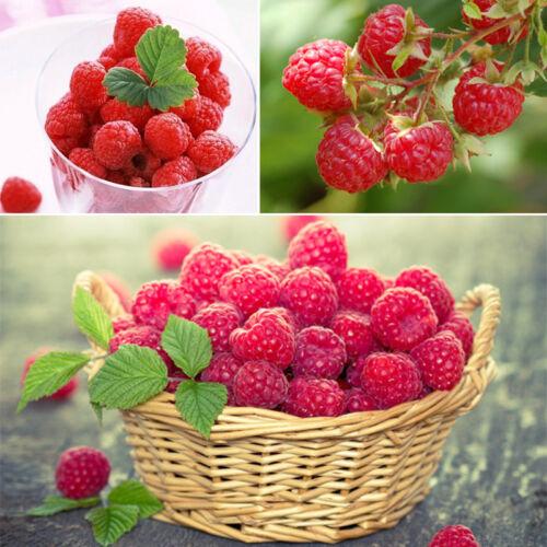 2000 Pcs rouge framboise Graines jardin fruits plantez des graines juteuses et D