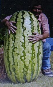 COMPETITION-WATERMELON-CROSS-HYBRED-MEDICINAL-ANTIOXIDANT-LYCOPENE-5-SEEDS