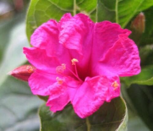 Four o/'clock  mirabilis jalapa maravilla flowering BUTTERFLIES GARDEN   25 seeds