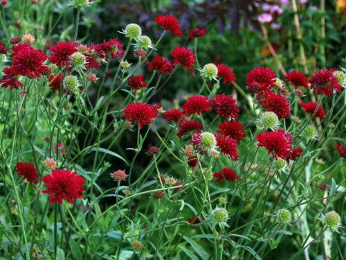 very long flowering season Knautia Macedonica red scabious hardy bees 9cm