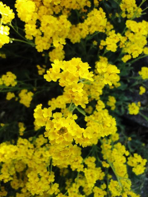 White Spice Snowball Seed 60 Seeds Lobularia Maritima Sweet Alyssum Flowers A071