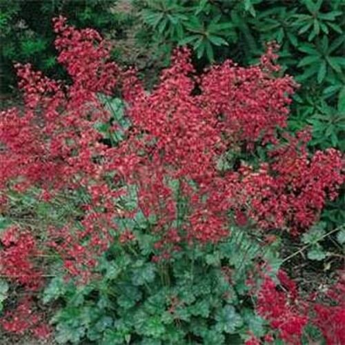 Firefly Coral Bells 100 Seeds
