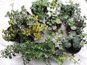 30 Pflanzen Bodendecker-Mix,immergrün,Winterhart | eBay