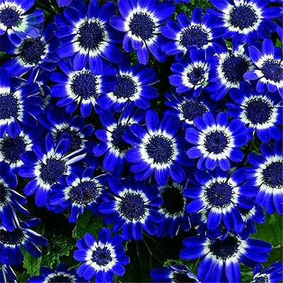 50PCS Blue Daisy Seeds Awesome Easy to Grow Flower DIY Home Garden Decor