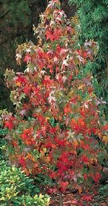 Sweet-Gum-Red-Tree-9L-Pot-Liquidambar-Styraciflua-3-Year-Old-1-4m
