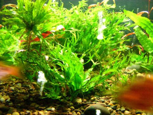 Lot of 6 Java Fern Windelov Live Aquarium Plant Lace Microsorum pteropus v