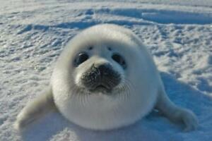 Baby-Arctic-Seal-In-Canada-Photo-Art-Print-Poster-24x36-inch