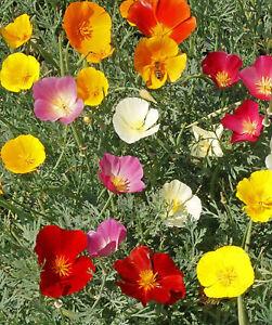 California poppy flower seeds mix bulk ebay image is loading california poppy flower seeds mix bulk mightylinksfo