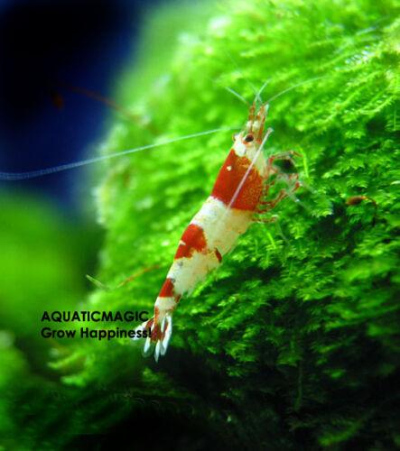 Xmas moss-Live Fish Aquarium Plant Decoration Grass