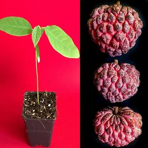 Red-Sugar-Apple-Sweetsop-Annona-Squamosa-Potted-PLANT-Tropical-Tree