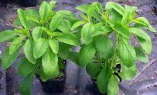 700 ORGANIC NON GMO STEVIA REBAUDIANA SEEDS +DRY LEAVES (FREE SAMPLE)