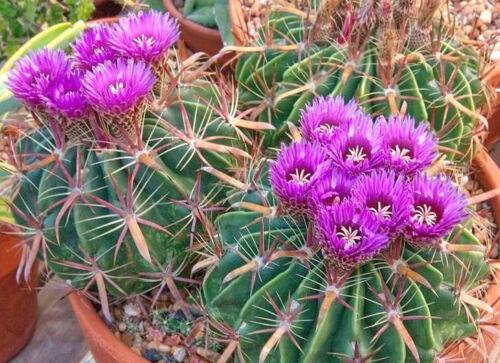 Ferocactus latispinus @J@ barrel cacti rare cactus outdoor garden seed 100 SEEDS